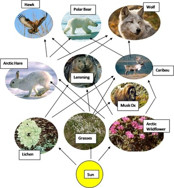 Food Web Interaction - Brooks Range, Alaska